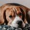 Waarom de Beagle een ideale gezinshond is