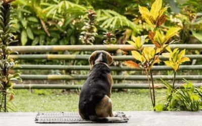 Hoe reinig je het gebit van je Beagle?