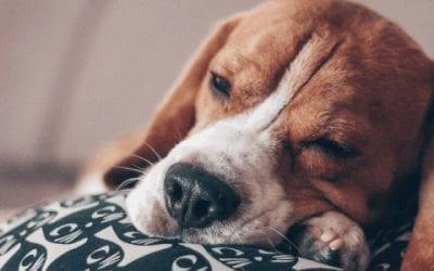 Een Beagle zindelijk maken: volg onze tips