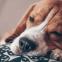 Een Beagle zindelijk maken: volg ons stappenplan