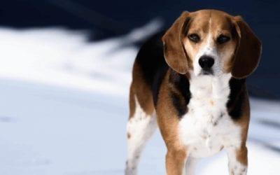 Informatie over de herplaatsing van een Beagle