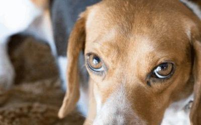 Waarom blaft jouw Beagle? En hoe leer je het af?