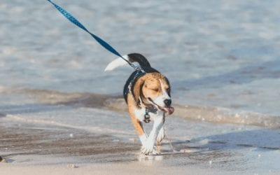 [2021] De beste en leukste kleding voor jouw Beagle