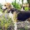 Hoe je een Beagle het opspringen afleert