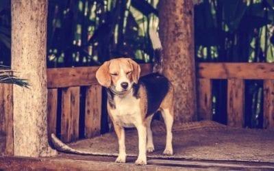 Hoe bereid je je huis voor op de komst van een Beagle?