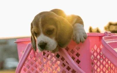 [2021] Top 5: De beste hondensnacks voor jouw Beagle