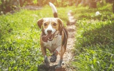 Beagle trainen: hoe pak je dat écht goed aan?