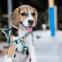 Beagle x Jack Russell mix: een geweldige combinatie