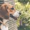 Hoe voorkom je dat een Beagle wegloopt?