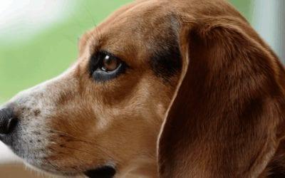 Wanneer is een Beagle uitgegroeid